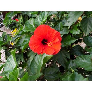 ロイヤリティーフリー素材:赤い花:GIF・JPEG
