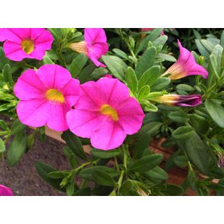 ロイヤリティーフリー素材:ピンク色の花:GIF・JPEG