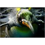 かわかみふみこの作品発表:はがき作成とDM印刷:動物_ペンギン_5